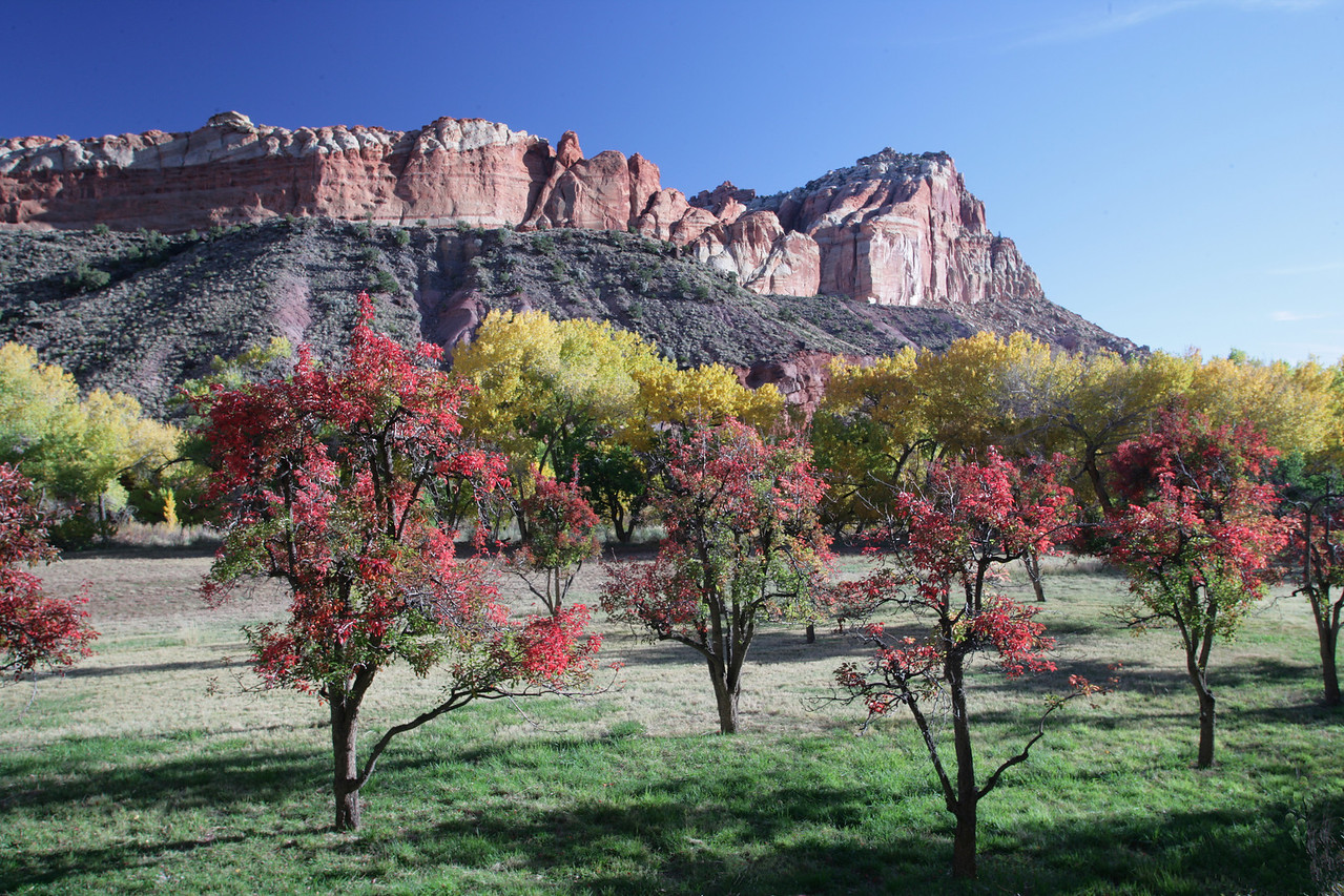 Golden cottonwood and red fruit trees provide a vivid contrast with the red rocks surrounding Fruita Oasis in Capitol Reef National Park.