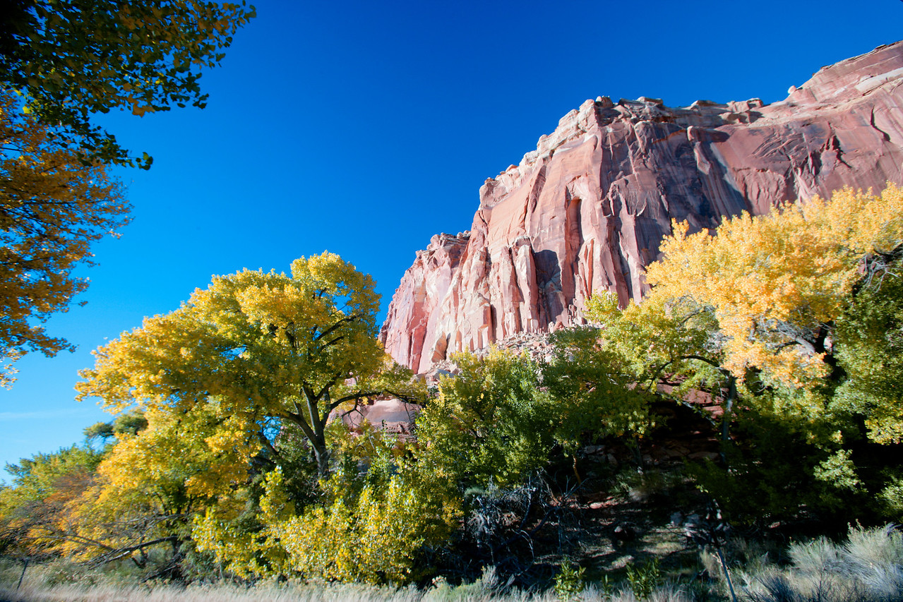 Golden cottonwood trees and blue skys provide a vivid contrast with the red rocks surrounding Fruita Oasis in Capitol Reef National Park.