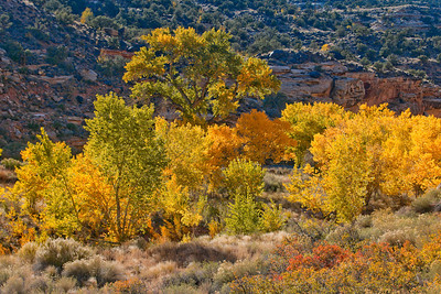 Cottonwood trees ablaze with color by the Fremont River in Capitol Reef National Park.