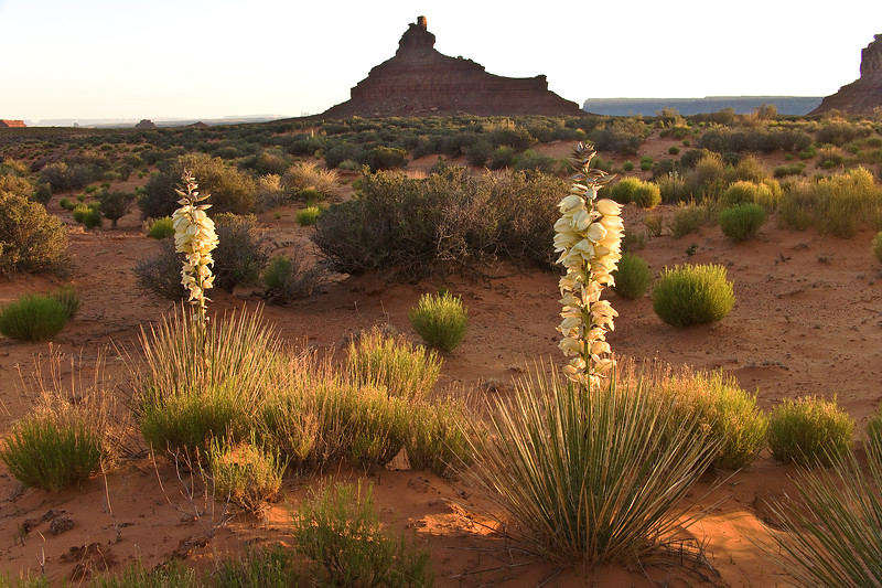 Blooming Yucca and butte at sunset, Valley of the Gods near Bluff, Utah