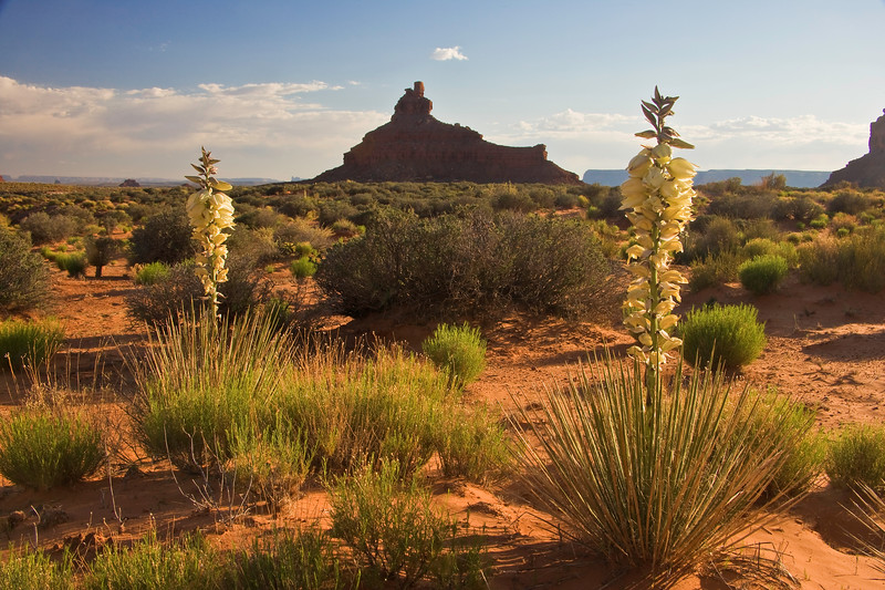 Blooming Yucca plants at sunset, Valley of the Gods near Bluff, Utah