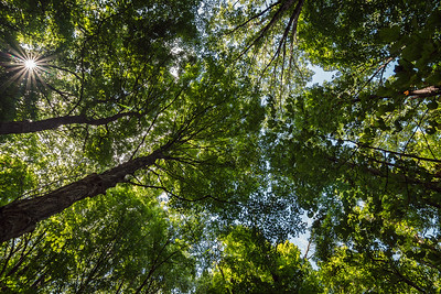 Looking up at a forest canopy