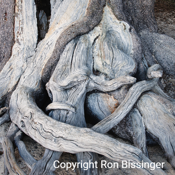 Bristlecone Roots