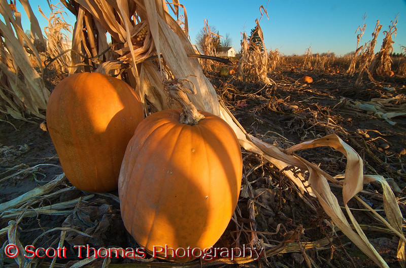 November pumpkin patch near Abbot's fram on Route 370 near Baldwinsville, New York.