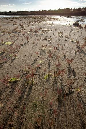 CAD27740 - Salicornie nello stagno dietro la spiaggia