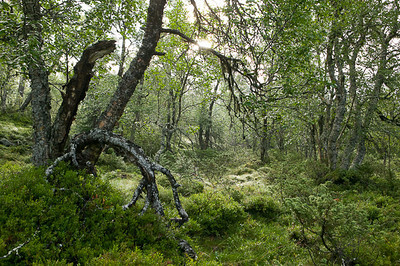 CAV30109 - Bosco di betulle nel nord della Scandinavia