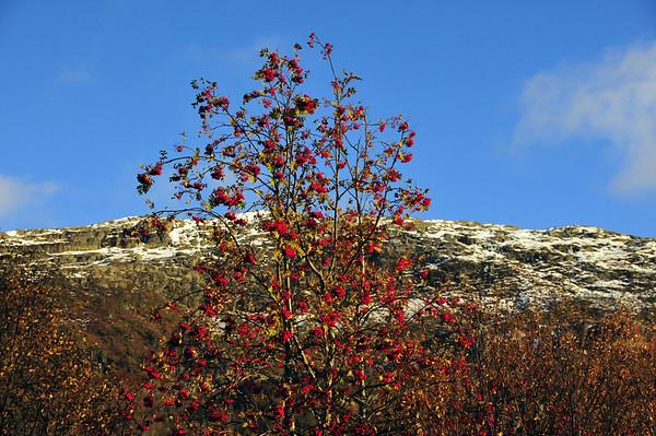 Rognebær til fjells....