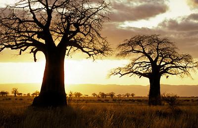DIA00002 - Tramonto su Baobab in Tanzania