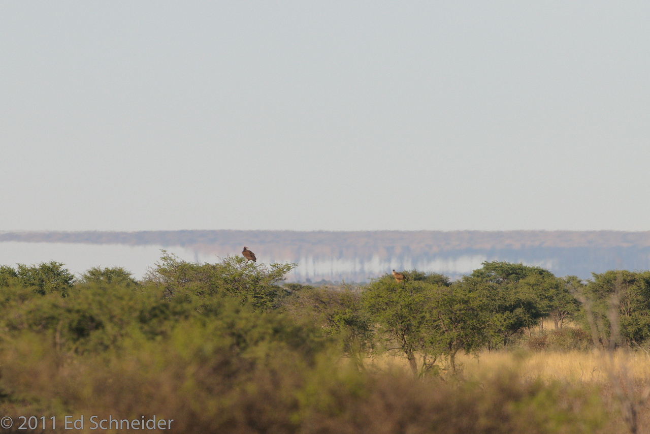 Mirage behind Lappet-faced and White-backed Vulture. Tswalu, Southern Kalahari, S.A.