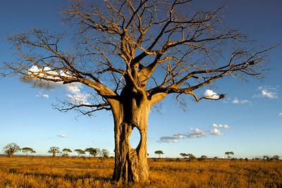 DIA00003 - Baobab in Tanzania