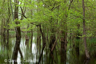 CAD00831 - bosco allagato di frassini e ontani