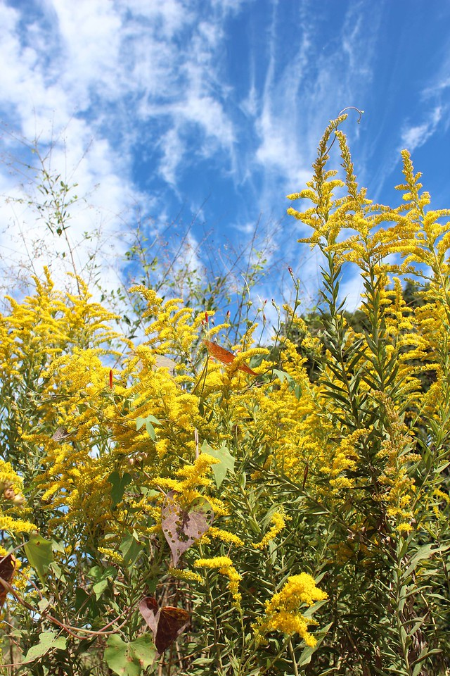 Goldenrods against a Blue Sky