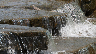 Forest Park Canal  and Spotted Sandpiper