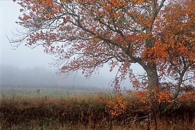 Fall Tree 1d