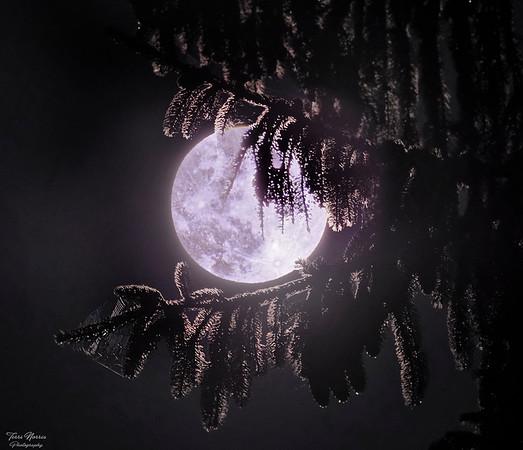 moon pines 2