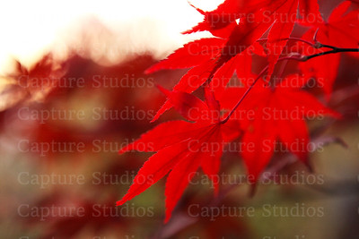 Maple Vibrance_7663