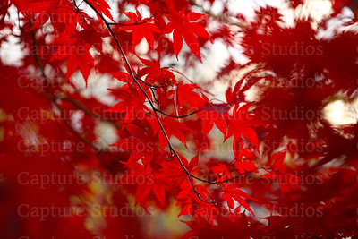 Red Maple_7650