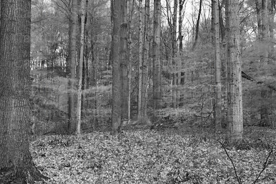 Maple trees_5727