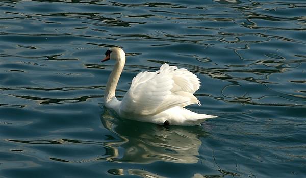 Swan - Lake Lucern