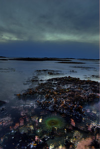 © Joseph Dougherty. All rights reserved.   Tidal surge rising and falling around tidepool animals and kelp.