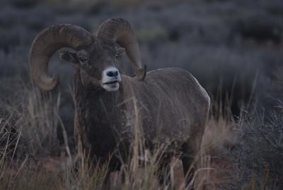 "© Joseph Dougherty.  All rights reserved.   Bighorn Sheep, Ram grazing on plateau plants atop a high ""sky island"" mesa. Canyonlands National Park, Utah"