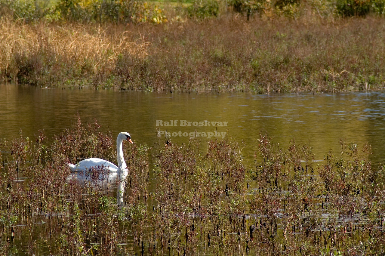 Solitary Swan at Ringwood Manor, New Jersey, USA
