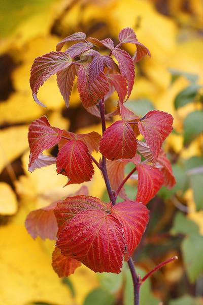 Red raspberry leaves along Bozeman Creek in Sourdough Canyon.  Bozeman, MT<br /> <br /> © Kirk Sagers