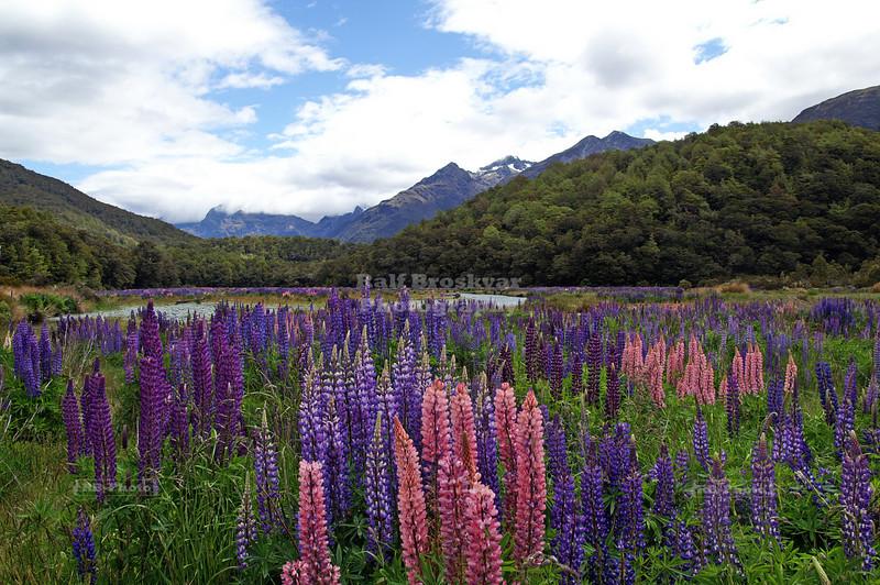 Lupine Field, Eglinton River, New Zealand