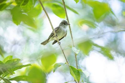 Cayman Bird_0466