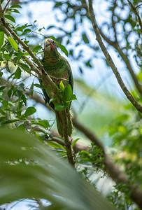 Cayman Parrot_0399