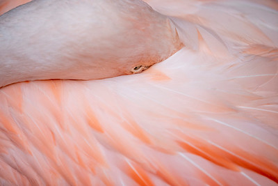 IMGL3058_Flamingo