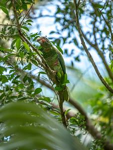 Cayman Parrot_0400