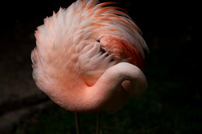 IMGL3064_Flamingo