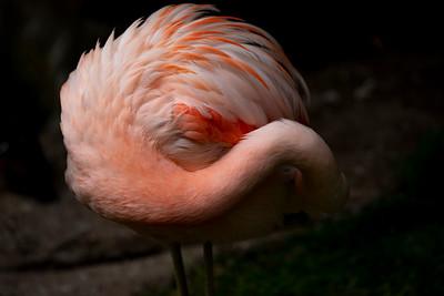IMGL3065_Flamingo