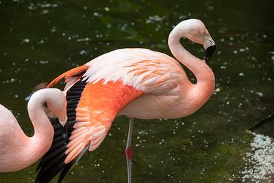 IMGL3045_Flamingo