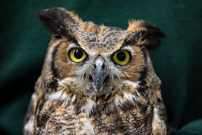 Great Horned_2955