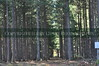 Like soldiers during a parade, these pines stand tall with the barren forest floor below...