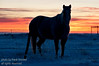 A horse standing in a meadow outlined by a beautiful mid-winter prairie sunset