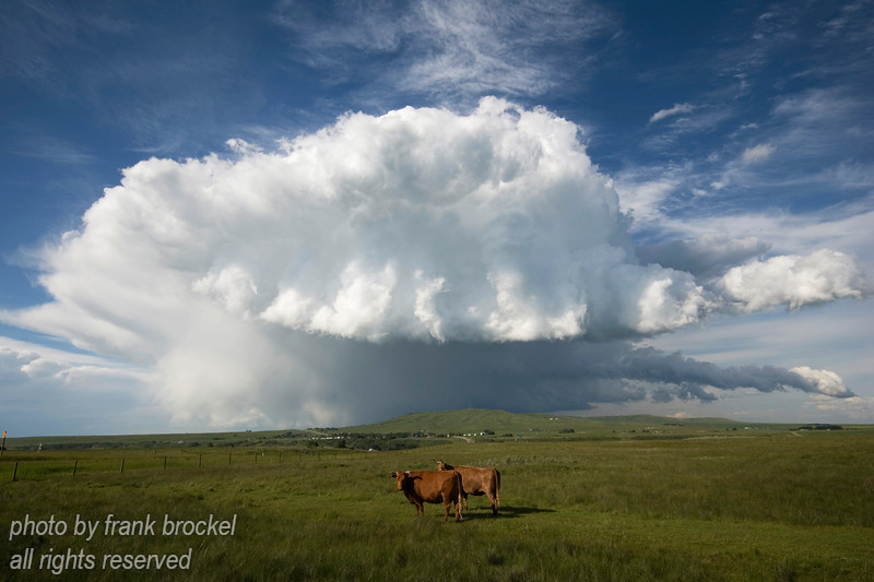 A summer storm reaching for 2 cows near Longview, Alberta, Canada