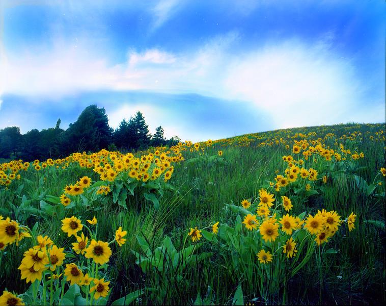 Arrowleaf Balsamroot in bloom on the foothills of the Bridger Mountains.  near Bozeman, MT<br /> <br /> © Kirk Sagers