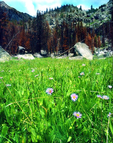 Aster blooms in a high meadow below a burned area of the 2006 Jim Creek fire, Wind River Range.  Bridger Teton Wilderness, WY<br /> <br /> © Kirk Sagers