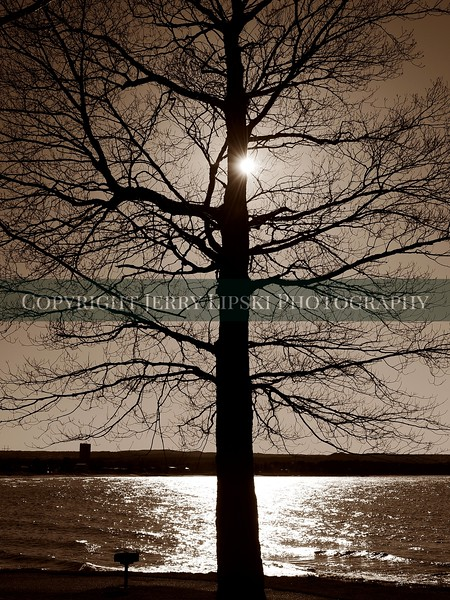 Sepia image of a baren, leafless tree in the spring hiding the setting sun.