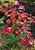 red leaves DSC_8983