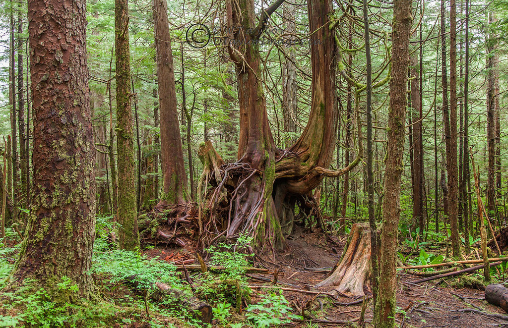 Forest at Butze Rapids trail near Prince Rupert, British Columbia, Canada.