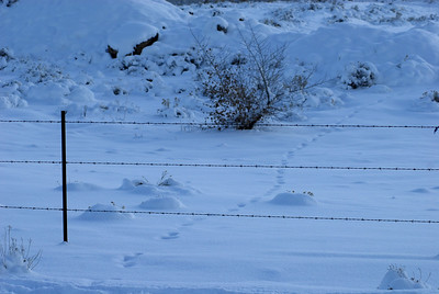 © Joseph Dougherty. All rights reserved.   Animal tracks through the snow, crossing a barbed wire fence.