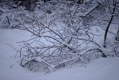 © Joseph Dougherty. All rights reserved.   Snow-covered shrub in the Sierras.
