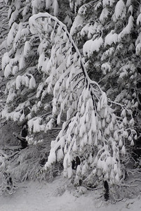 © Joseph Dougherty. All rights reserved.   Snow-covered pines in the Sierras.
