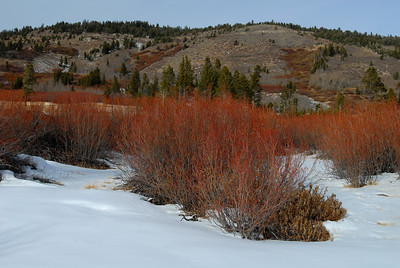 © Joseph Dougherty. All rights reserved.   High alpine meadow in early winter, with light snow and colorful willow (Salix sp.) branches.