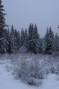 © Joseph Dougherty. All rights reserved.   Snow-covered manzanita and pines in the Sierras.
