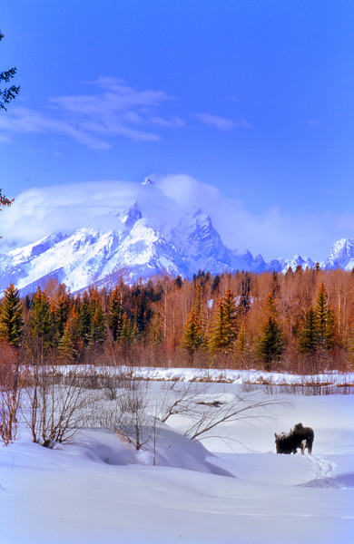 Moose and The Grand Teton in winter.  Near Moran Junction, Grand Teton NP, WY<br /> <br /> (said moose later tried to kill me.)<br /> <br /> © Kirk Sagers
